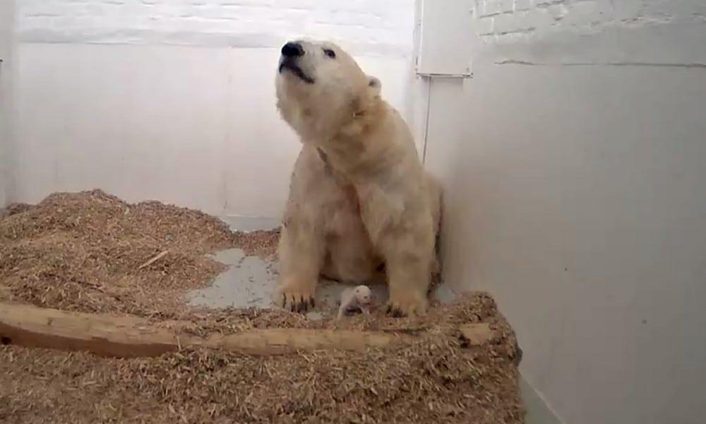 Berliner Eisbär-Baby gestorben