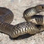 Nester von zweitgiftigster Schlange weltweit auf Schulhof entdeckt