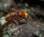 Sind Hornissen wirklich gefährlicher als Wespen?