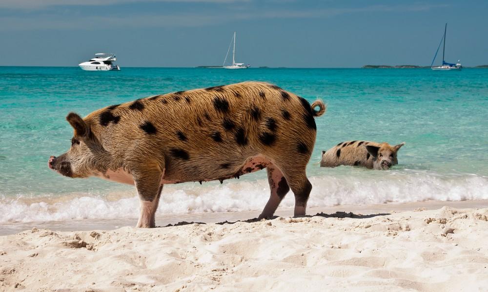 Schweine auf den Bahamas
