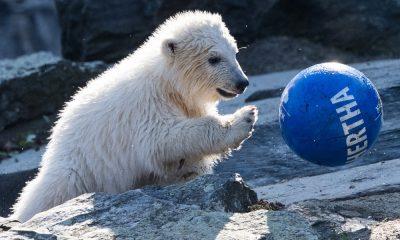 Eisbär-Baby Hertha