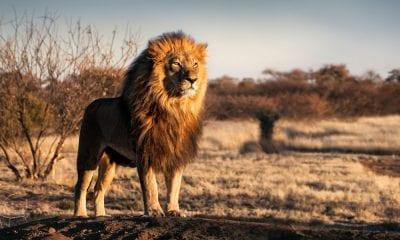 Ein Löwe