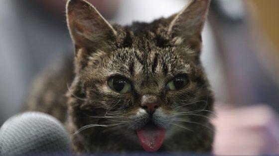 Katze Lil Bub