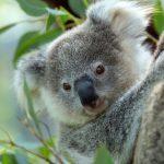 Buschbrände in Australien: Fast 500 Millionen Tiere sterben in den Flammen