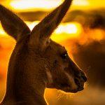 Australien: Rettungskräfte werfen Karotten für Kängurus ab