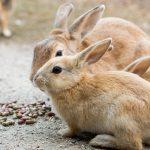 Okunoshima: Auf dieser Insel leben nur Kaninchen!