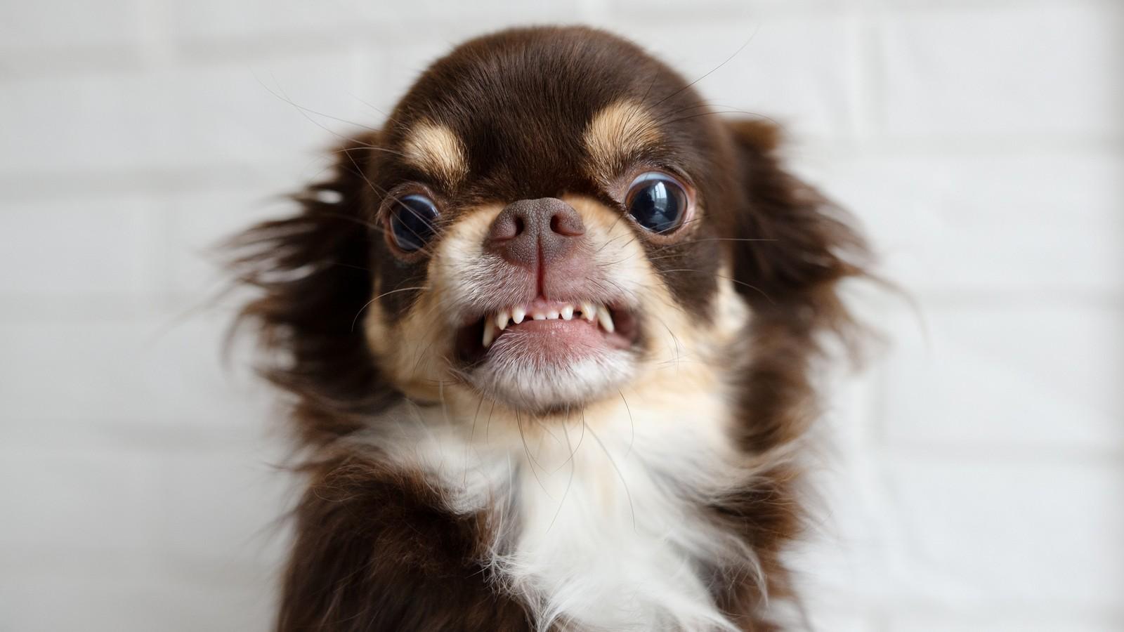 Wütender Hund