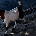 Kurios: Ziegen übernehmen ganze Stadt!