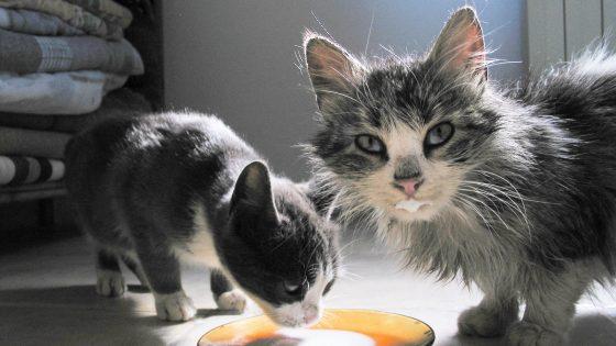 Katzen trinken Milch