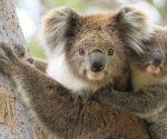 Erstes Koala-Baby nach Buschbränden in Australien geboren