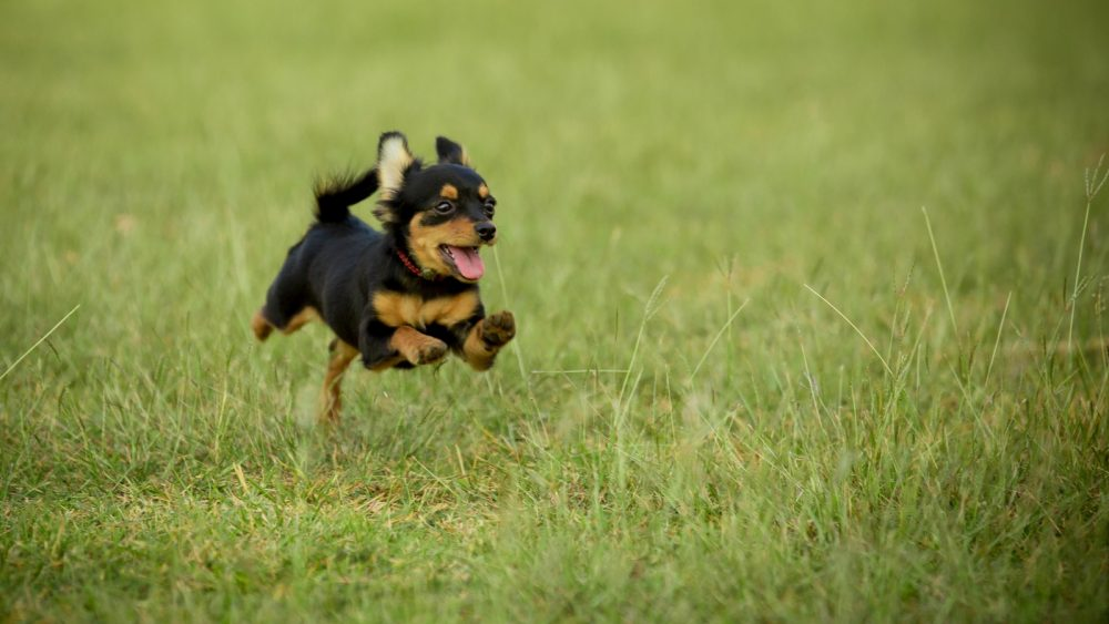 Kleinste Hund