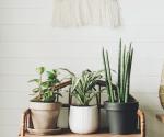 So kannst du deine Pflanze mit einem Tampon retten