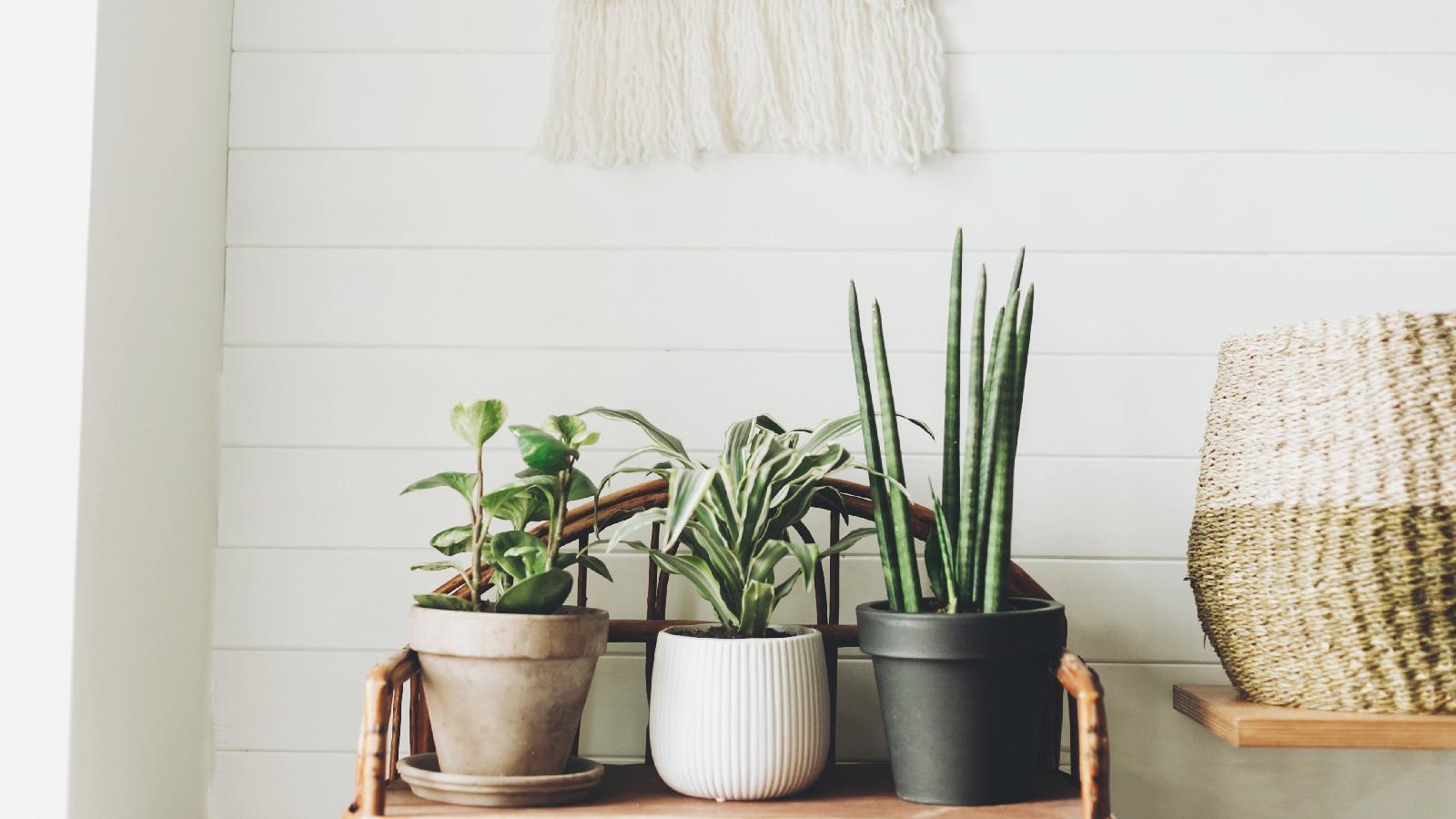 So rettest du Zimmerpflanze mit Tampon