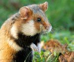 Dieses süße Haustier ist vom Aussterben bedroht