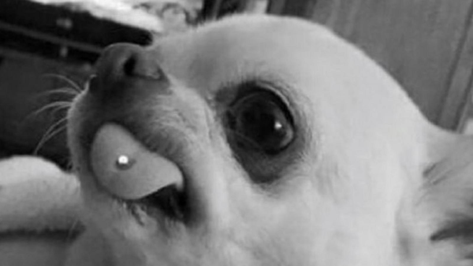 Hundebesitzerin lässt Hund piercen